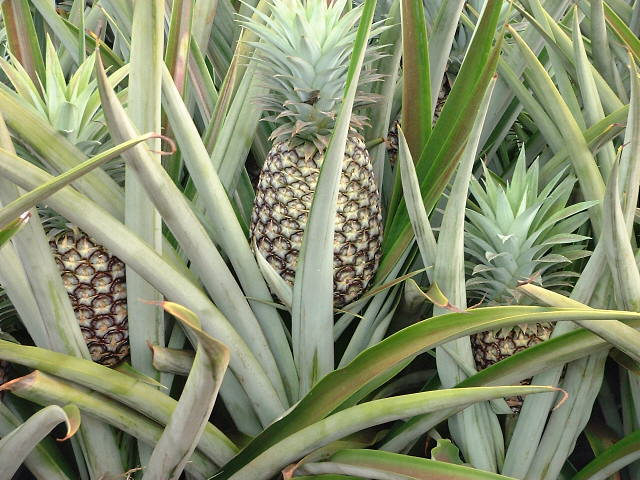 How and where do pineapples grow yahoo answers for Pineapple in the ground